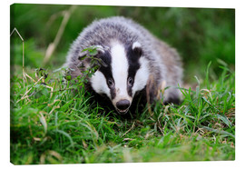 Canvas print  Badger sneaking through the grass - Colin Varndell