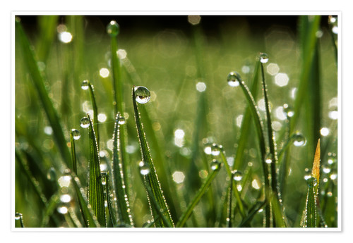 Premium poster Dew drops on grass