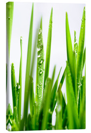 Canvas print  Blades of wheatgrass with water droplets - Cordelia Molloy