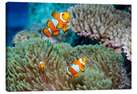 Canvas print  False clown anemonefish - Georgette Douwma