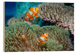 Wood  False clown anemonefish - Georgette Douwma