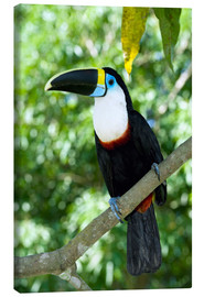 Canvas print  White-throated toucan - Tony Camacho