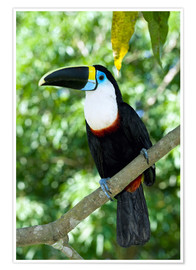 Poster  White-throated toucan - Tony Camacho
