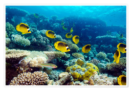 Poster  Red Sea raccoon butterflyfish - Georgette Douwma