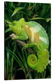 David Aubrey - Four-horned chameleon