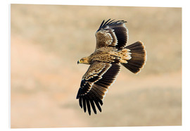 Forex  Eastern imperial eagle in flight - M. Schaef