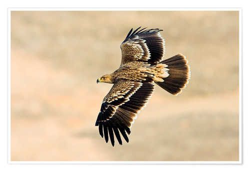Premium poster Eastern imperial eagle in flight