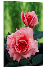 Wood print  Rose flowers (Rosa 'Aloha') - Archie Young