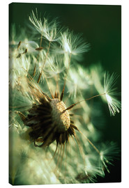 Canvas print  Dandelion clock - David Nunuk