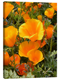 Canvas print  California poppy - Tony Craddock