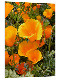 Foam board print  California poppy - Tony Craddock