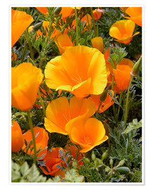 Premium poster California poppy