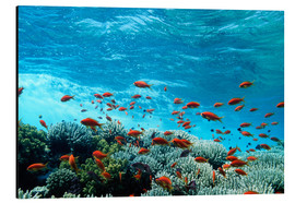 Aluminium print  Lyretail anthias and corals - Georgette Douwma