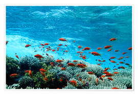 Poster  Lyretail anthias and corals - Georgette Douwma