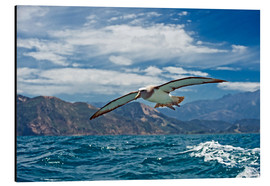 Alu-Dibond  Salvin's albatross in flight - Tony Camacho