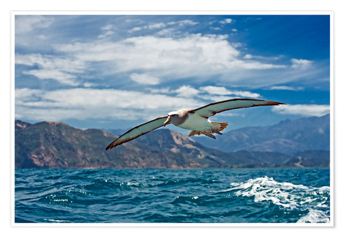 Premium poster Salvin's albatross in flight