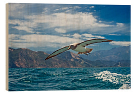 Wood print  Salvin's albatross in flight - Tony Camacho