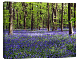 Canvas  Bluebells in woodland - Adrian Bicker