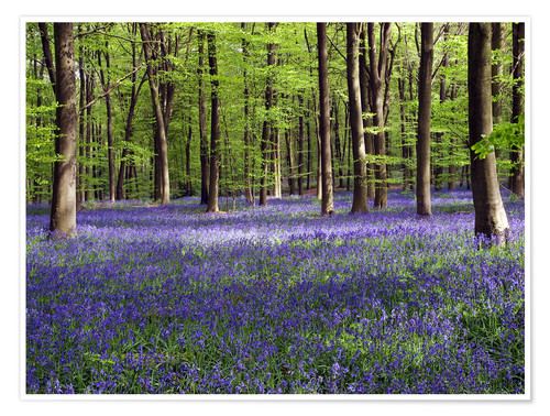 Premium poster Bluebells in Woodland