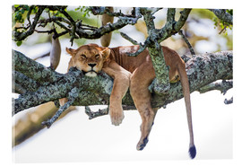 Acrylic print  Lioness, resting - PhotoStock-Israel