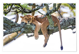 Poster  Lioness, resting - PhotoStock-Israel