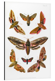 Aluminium print  British moths