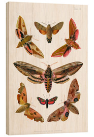 Wood print  British moths
