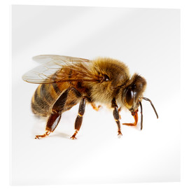 Acrylic print  Honey bee