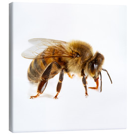 Canvas print  Honey bee