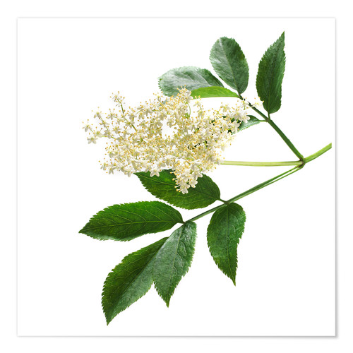 Poster Elderflower blossom