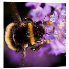 Acrylic print  Bumble bee collecting pollen - Power and Syred