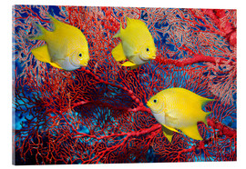 Acrylic print  Golden damselfish - Georgette Douwma