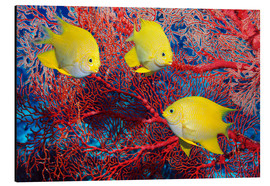 Aluminium print  Golden damselfish - Georgette Douwma