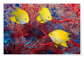 Poster  Golden damselfish - Georgette Douwma