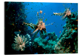 Acrylic glass  Lionfish on a reef - Georgette Douwma