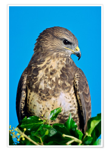 Poster Common buzzard