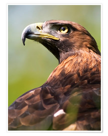 Premium poster  Golden eagle - Denise Swanson