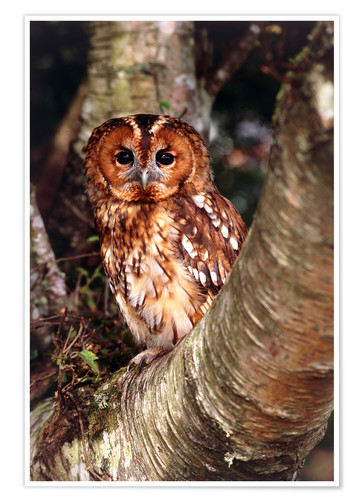 Poster Tawny owl