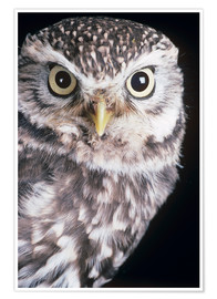 Premium poster Little owl