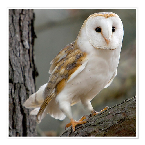 Premium poster Portrait photograph of a Barn Owl