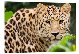 Acrylic glass  Amur leopard - Power and Syred