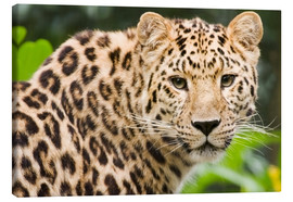 Canvas print  Amur leopard - Power and Syred