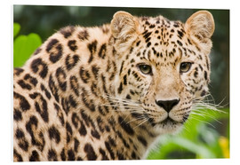 Foam board print  Amur leopard - Power and Syred