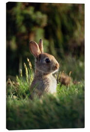 Canvas print  European rabbit - David Aubrey