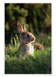 Poster European rabbit