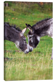 Canvas  Donkeys touching noses - Duncan Shaw