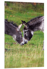 Foam board print  Donkeys touching noses - Duncan Shaw