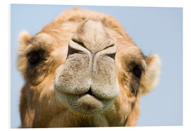 Foam board print  Dromedary camel - Power and Syred