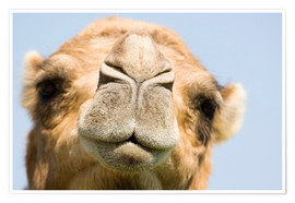 Premium poster  Dromedary camel - Power and Syred