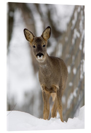 Acrylic print  Roe deer in winter - Duncan Shaw